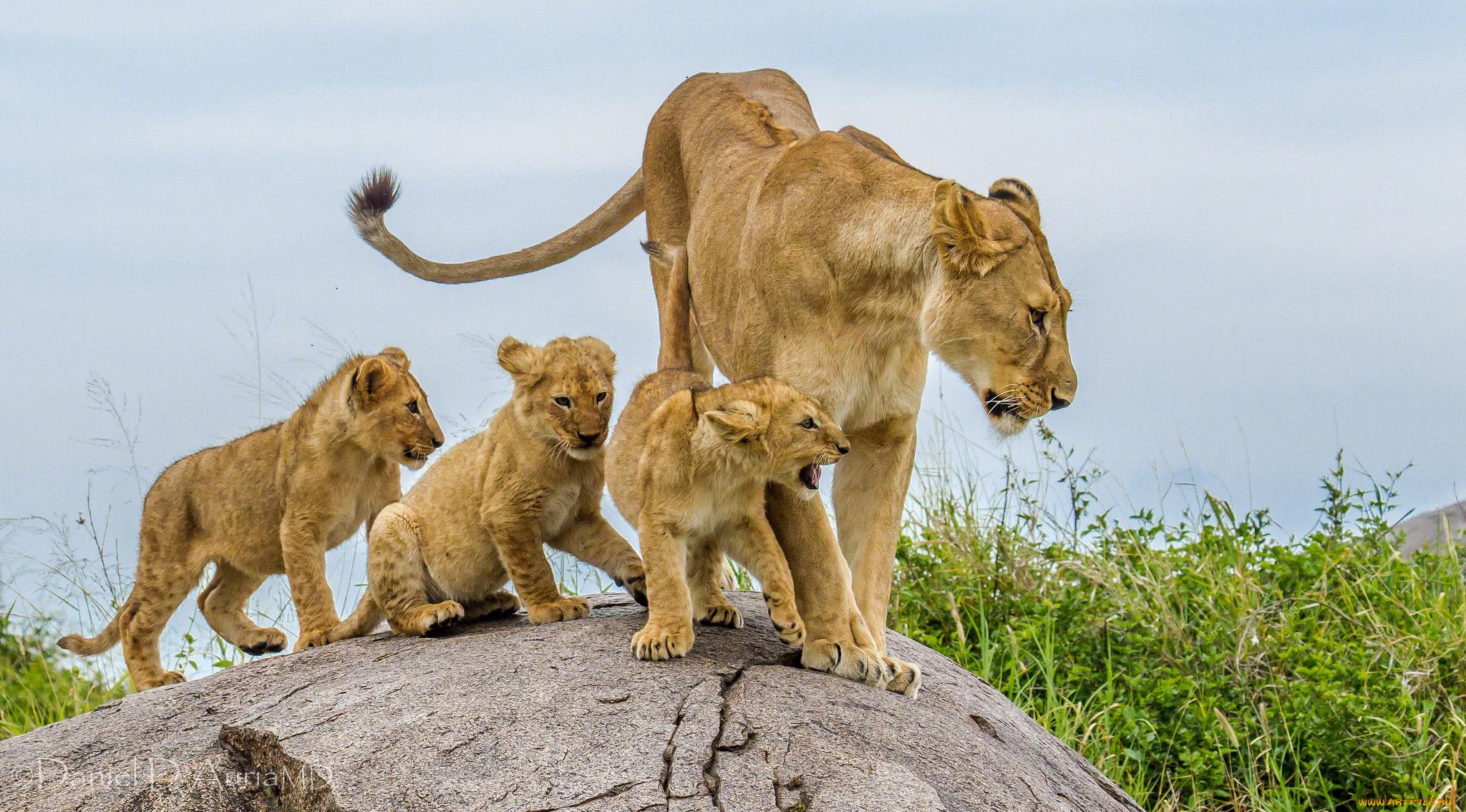 Картинки семья львов с львятами
